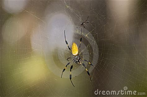sw spider house golden silk spider with mate stock photos image 5470093