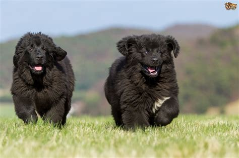 black newfoundland puppy 35 beautiful newfoundland pictures