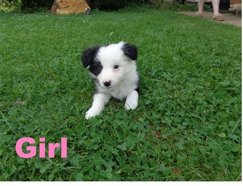 border collie puppies for sale florida 4 month collie puppy pics breeds picture