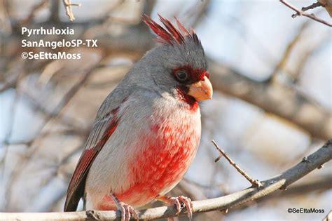cardinal cousin pyrrhuloxia birds and blooms