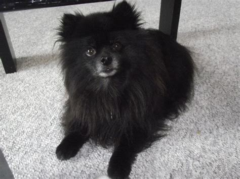 small black pomeranian best 25 black pomeranian ideas on black pomeranian puppies pomeranian