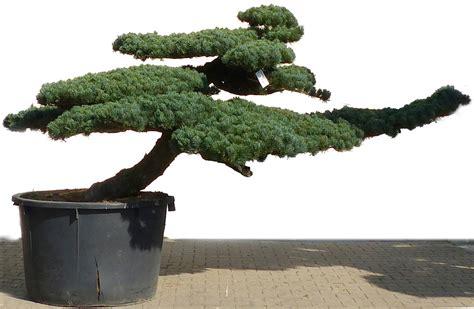 pino da giardino bonsai de shop bonsai da giardino niwaki pini