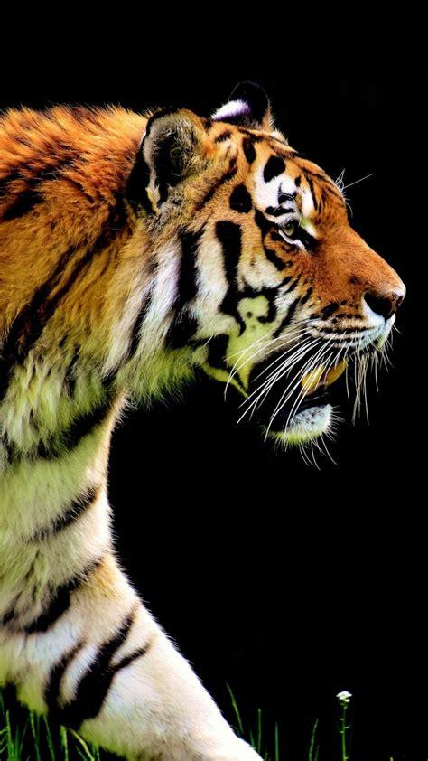 wallpaper tiger  animals