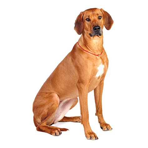 Do Rhodesian Ridgeback Shed by All Breeds That Begin R Dogsuniverse Co Uk