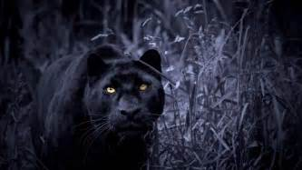 Black panthers those big wild cats if you love black panther so much