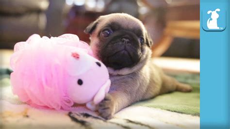the pet collective pugs silly pug puppy uses a loofah puppy pug