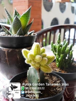 Kaktus Sukulen Hiasan Rumah Souvenir Unik tanaman kaktus mini unik untuk dekorasi meja rumah anda