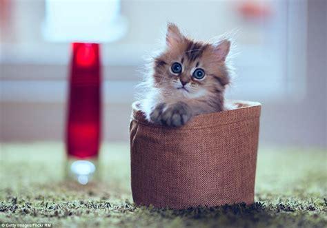 gambar kucing comel dan gebu flauschige katzen