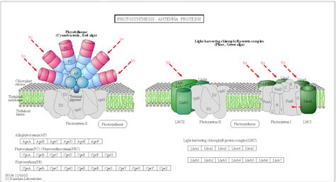 Light Harvesting Complex phycobilisome light harvesting complex
