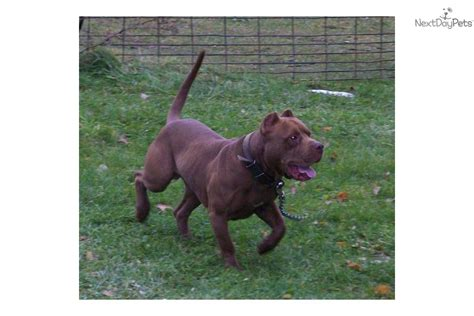 pitbull puppies for sale sacramento pit bull terrier kennels and breeders listed by country the knownledge