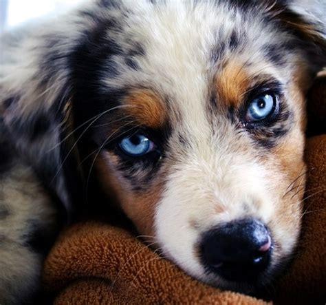 australian shepherd puppy blue blue merle australian shepherd adorable