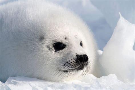 baby harp seal pup closeup arctic kingdom
