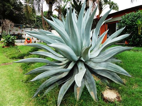 Panoramio   Photo of Agave azul (Agave tequilana)