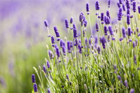 most fragrant lavender plant grow these 10 fragrant flowers for a heavenly smelling