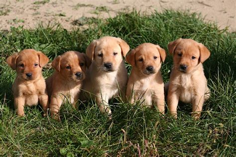 yellow lab puppies mn image gallery lab puppies for sale