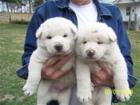 akita puppies for sale in nc akita puppies in missouri