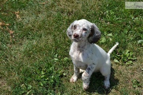 english setter dog for sale english setter puppy for sale near louisville kentucky