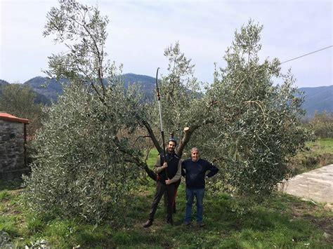 potatura olivo vaso il vaso policonico impararlo in modo efficace stefano