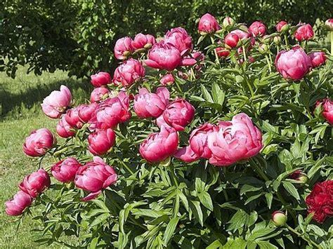 compro tappeti persiani usati fiore peonie 28 images composizione di fiori con