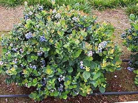 top hat dwarf blueberry bush live plant trade gallon