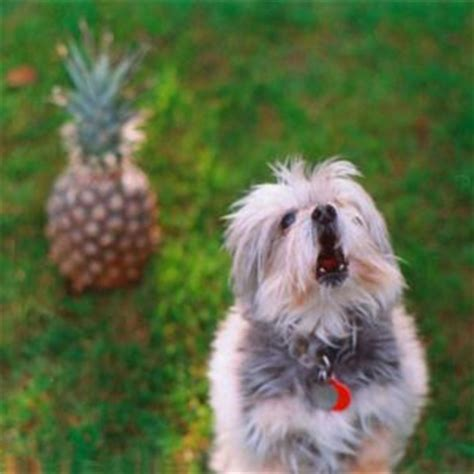 is pineapple safe for dogs can dogs eat pineapple a healthy treat alternative for your pup