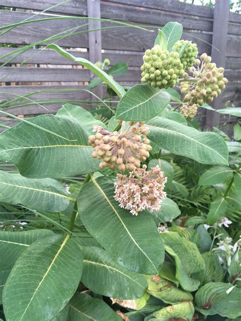 growing milkweed from seed teamtoy