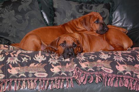 rhodesian ridgeback puppies florida wallpapers related to rhodesian ridgeback puppies florida breeds picture