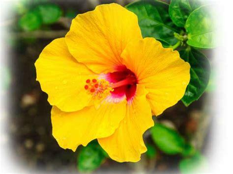 fiore ibisco il fiore di ibisco