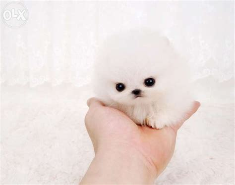 white micro teacup pomeranian puppy the 25 best teacup pomeranian puppy ideas on teacup animals pomeranian