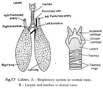 respiratory system of frog diagram respiratory system useful notes on respiratory system of