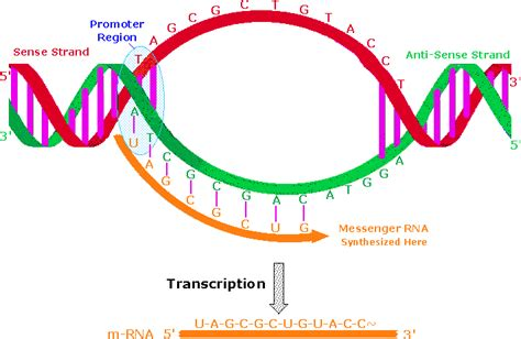template strand definition nucleic acids
