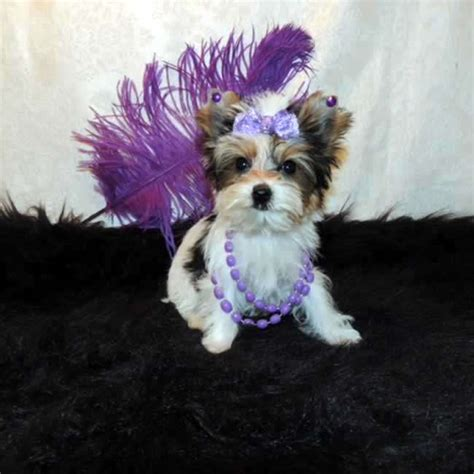 parti colored yorkies for sale and a few parti yorkies breeds picture
