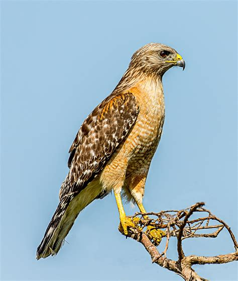 hawks colors shouldered hawk
