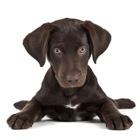 raising a lab puppy from puppies to dogs the science of puppy selection raising and