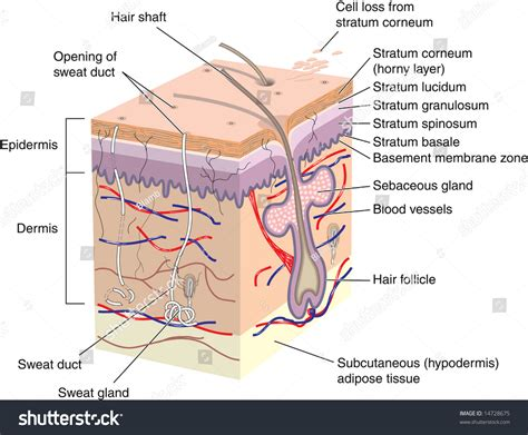 vertical section of human skin cross section human skin labels stock illustration