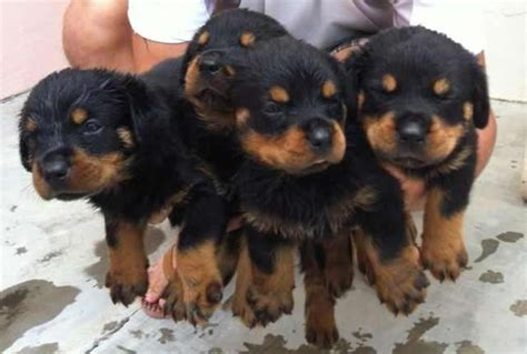 rottweiler puppies rescue rottweiler puppies for adoption breeds picture