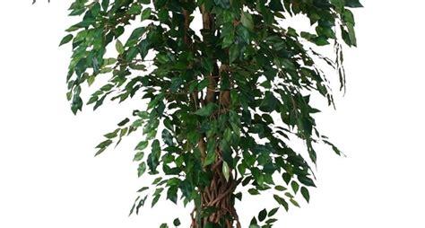Ficus Benjamin Cura by Cura Ficus Benjamin Ficus Beniamino Cura Ficus