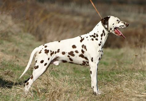 how much are dalmatian puppies dalmatian