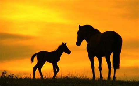 imagenes wallpapers hd animales caballo y potrillo imagenes wallpapers animales