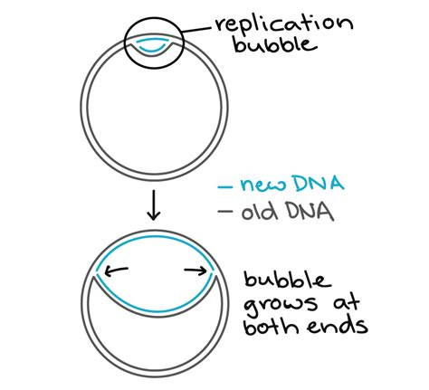 what acts as the template in dna replication list of synonyms and antonyms of the word replication