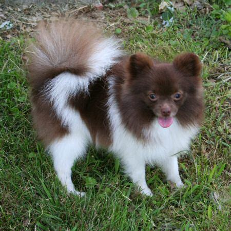 colored pomeranian s kennel pomeranian dogs