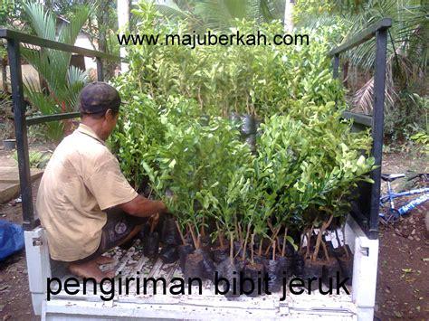 Pesan Bibit Jeruk Purut jual bibit tanaman murah hanya di cv majuberkah