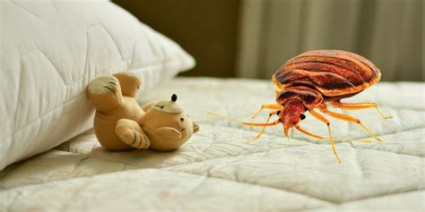 what are bed bugs attracted to what attracts bed bugs popular myths debunked pest