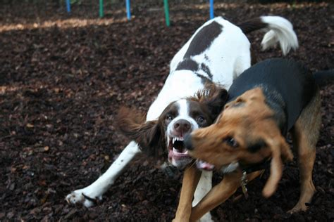 dogs 2 play for free dogs play fighting 2 free photo files 1365182 freeimages