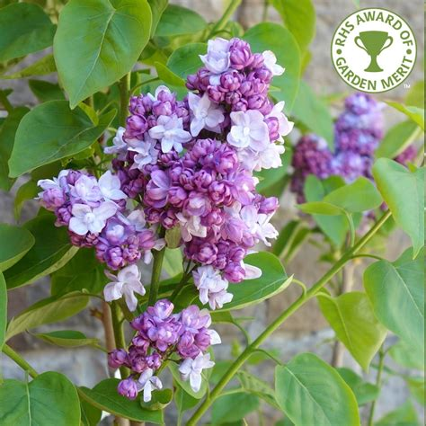 lilac tree syringa vulgaris katherine havemayer buy purple lilac trees