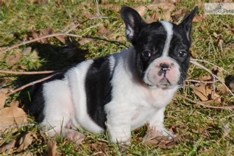 bulldog puppies colorado springs bulldog puppies in colorado springs colorado breeds picture