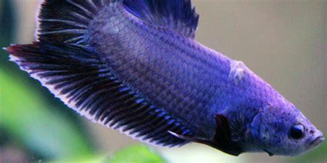 betta fish series  betta diseases