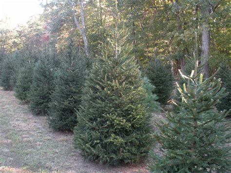 100 christmas trees farms in connecticut pretty
