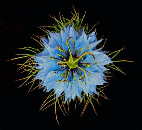 nigella love   mist images  pinterest cut