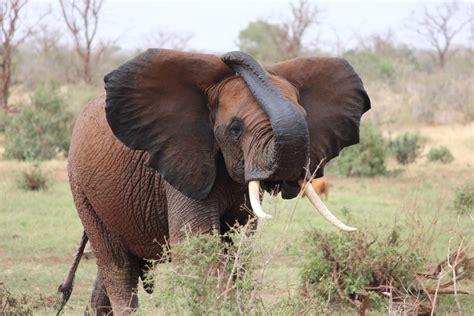 Gajah India gambar petualangan margasatwa penggembalaan binatang